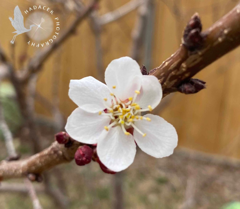 White blossom wide open, showing its stamen, growing on a branch. Tiny magenta buds cluster on one side.