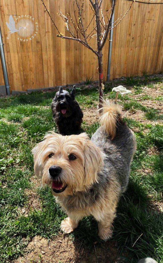 A spindly little tree stands in the background behind a small black schnauzer-mix dog with her tongue handing out and a medium black and tan dog smiling at the camera.