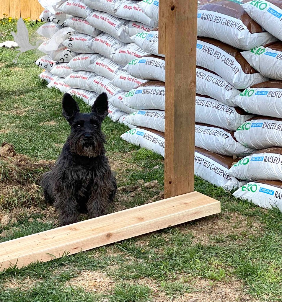 A black schnauzer-mix dog sits alertly by disturbed earth, lumber, and bags of gardening soil.