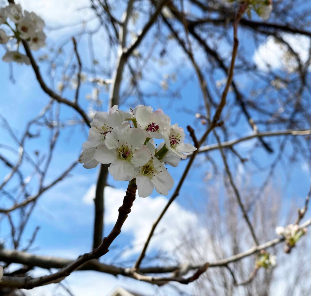 A cluster of several white blossoms with delicate green stamen show up among the generally bare branches in front of a bright blue sky.