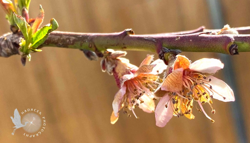 Two pink peach blossoms grow near each other on a branch.