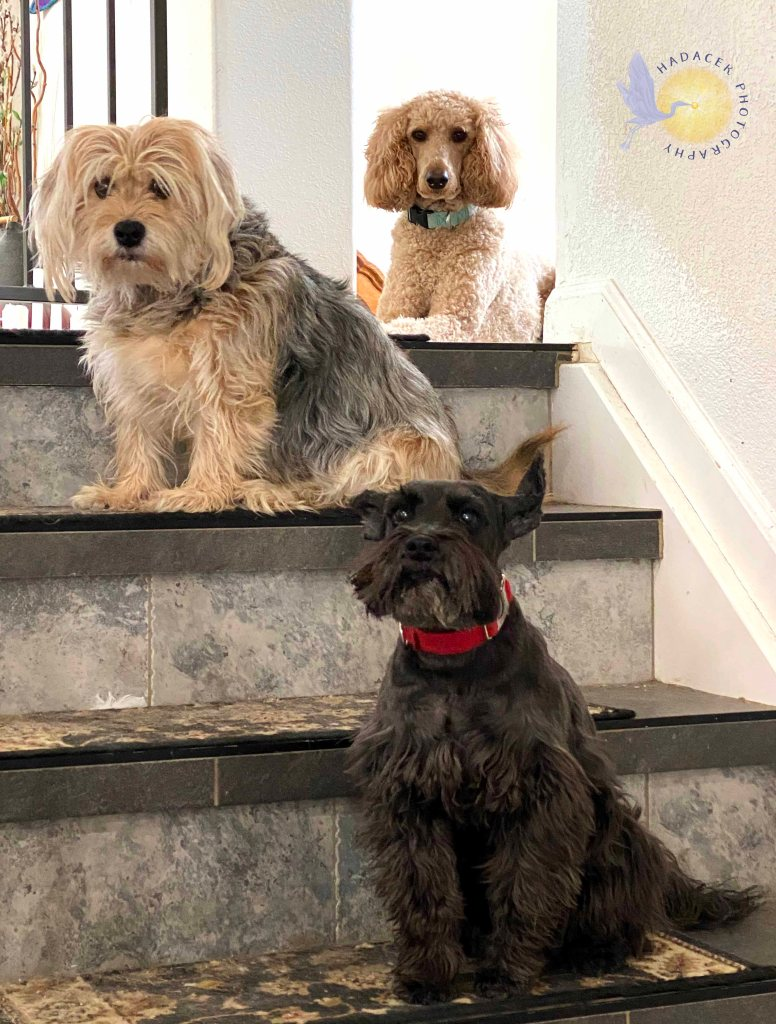 Staggered on stairs are an apricot standard poodle, black and tan scruffy pup, and a fuzzy, black, mustached dog.