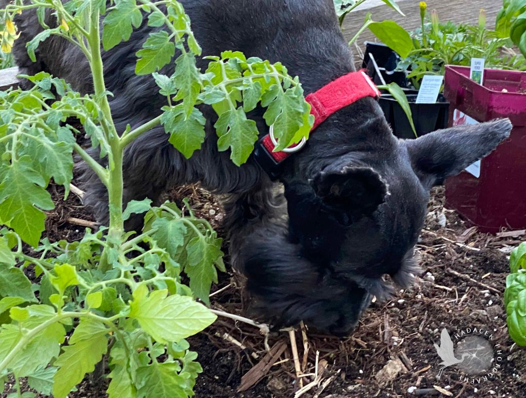 A small black dog sniffs earth around newly planted and soon-to-be-planted vegetables.
