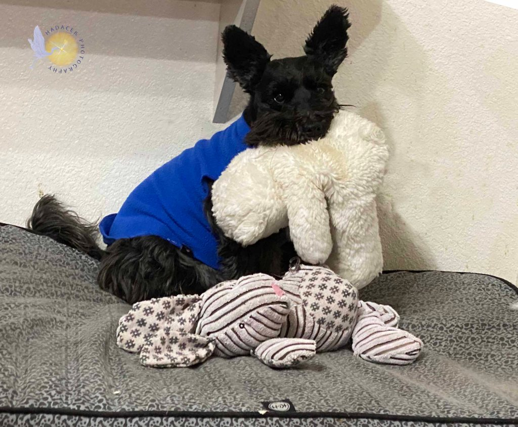 A small black dog sits on her bed with a stuffed doll in her mouth and one at her feet.