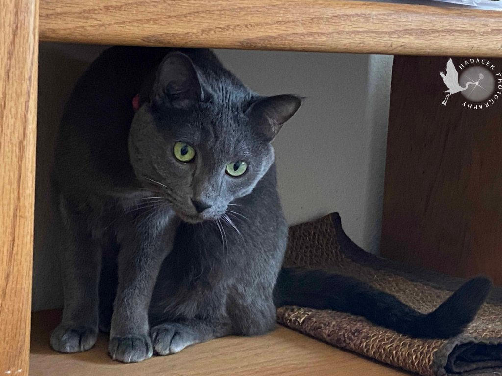 Gray cat with light-green eyes peers out from a small shelf.