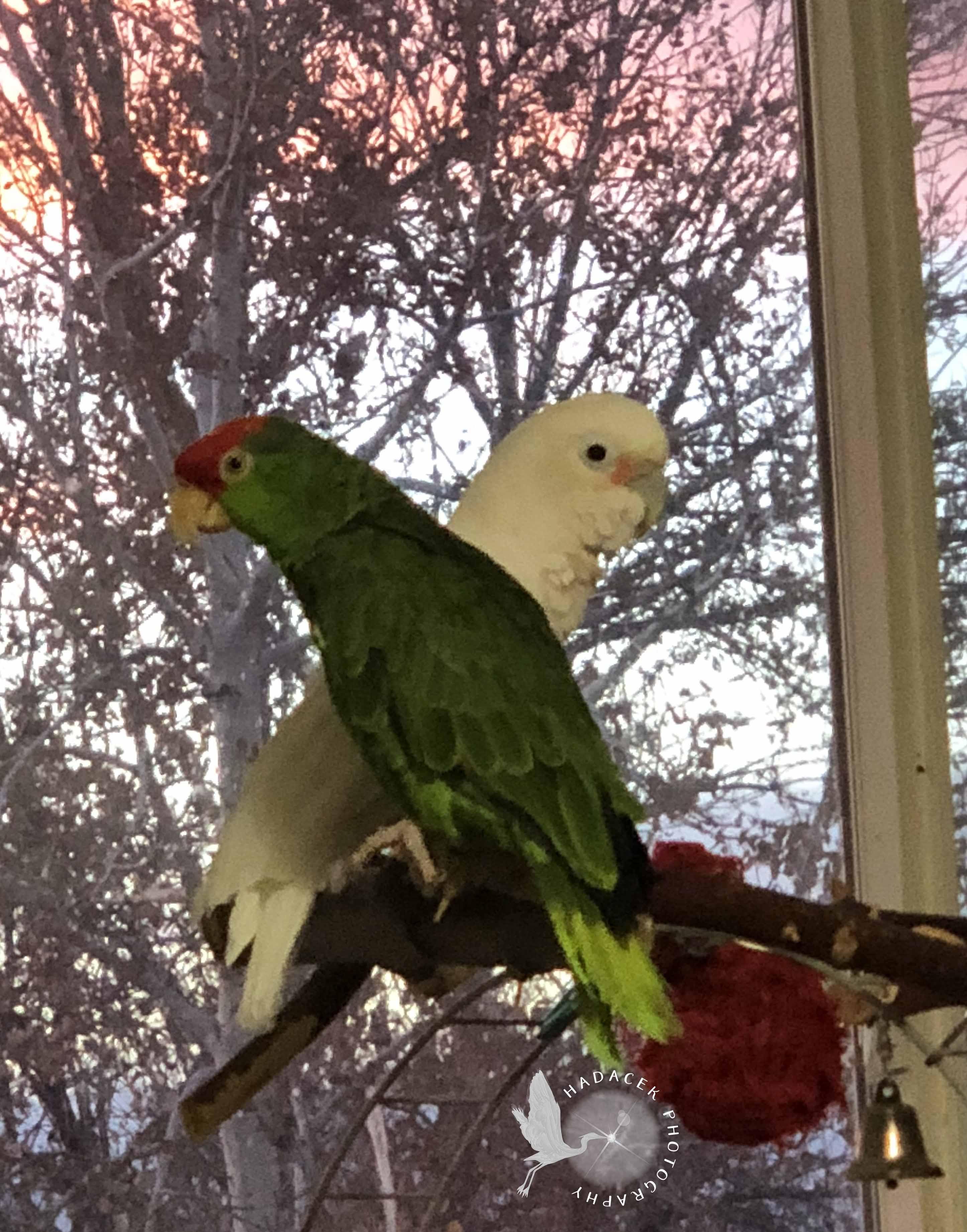 parrots at sunset
