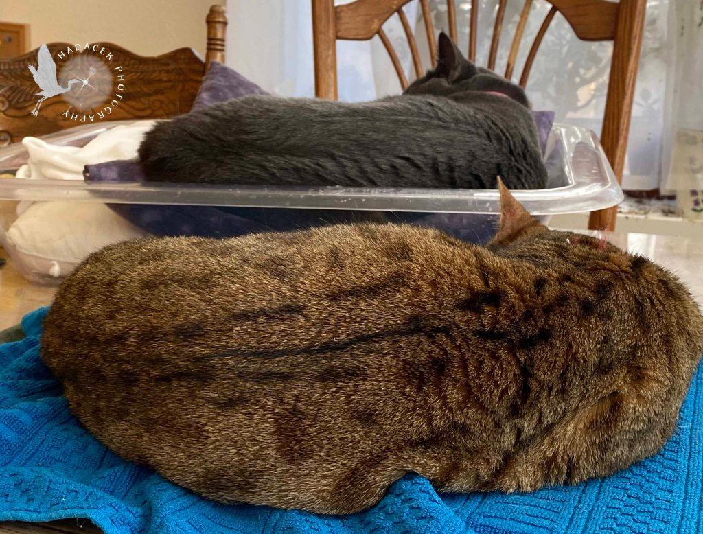 A Bengal cat is curled up on a blue towel on her heating pad. Beside her a gray cat sleeps in a cat bed. Their postures are identical, but they aren't touching.