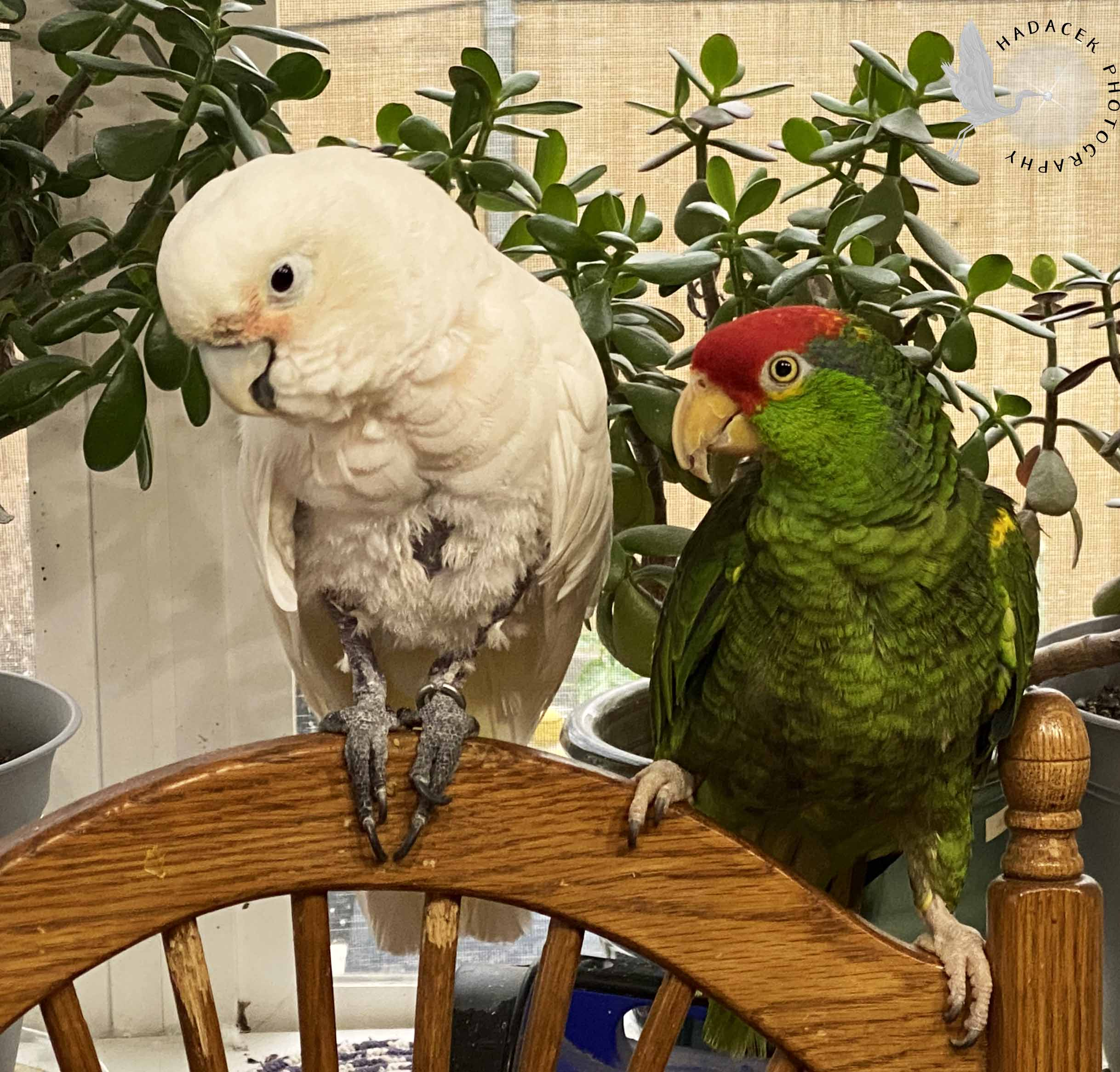 Cockatoo and Amazon parrot couple