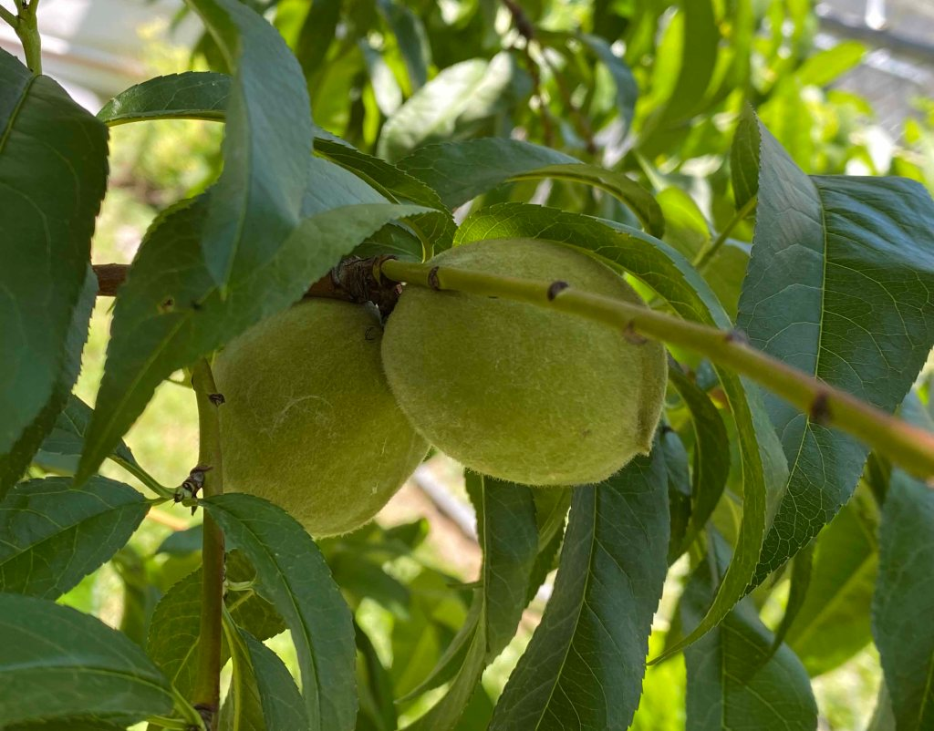 two green, unripe peaches on the branch