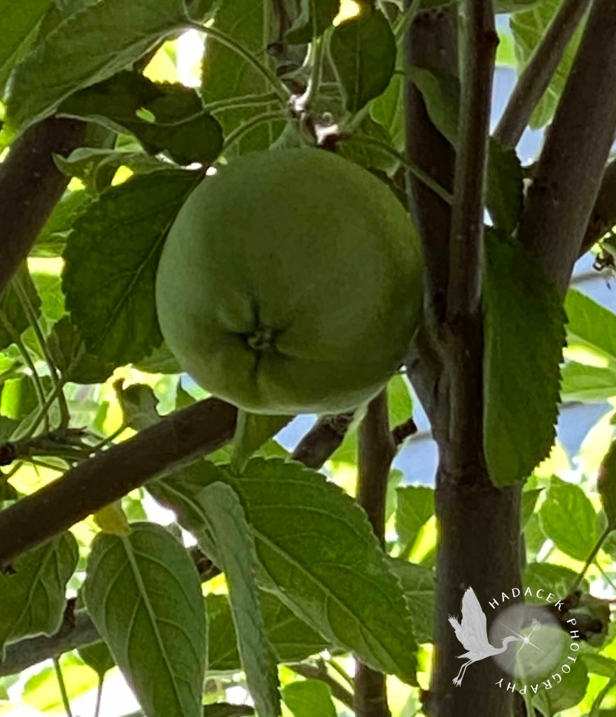 A large green apple dangles in an apple tree.