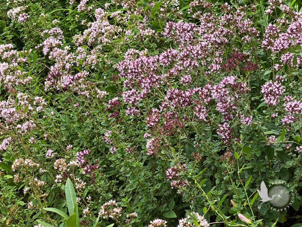 An entire flowerbed is dedicated to tall stalks with tiny purple flowers in clusters at the top of the stalks. It's is a luscious sea of green and purple.