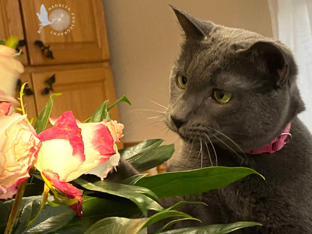 Gray cat with light green eyes examines a bouquet of roses.