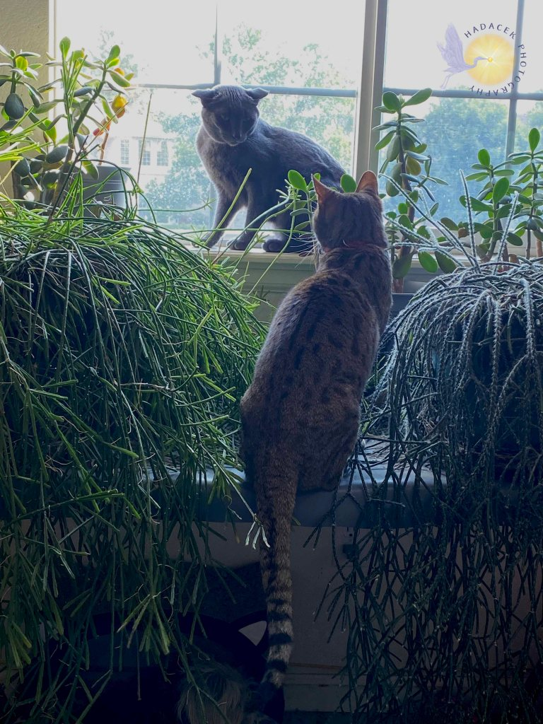 A gray cat sits in a window with mad ears, looing at the Bengal cat who wants her spot.