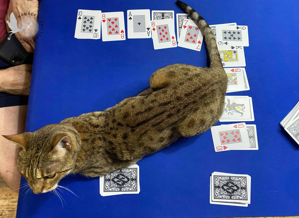 A Bengal cat lays across the center of a card game in progress.