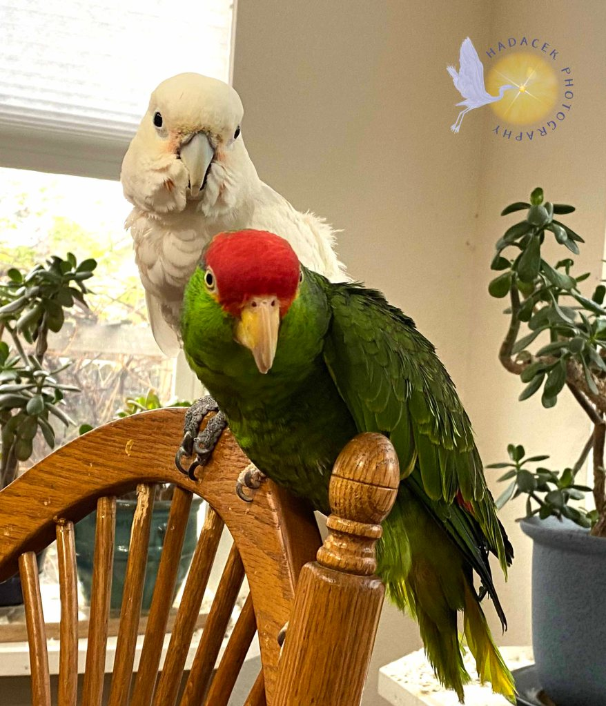 Two parrots sit close together. One is white, while the other is green and red. Although they look nothing alike, they are nonetheless close emotionally and physically.