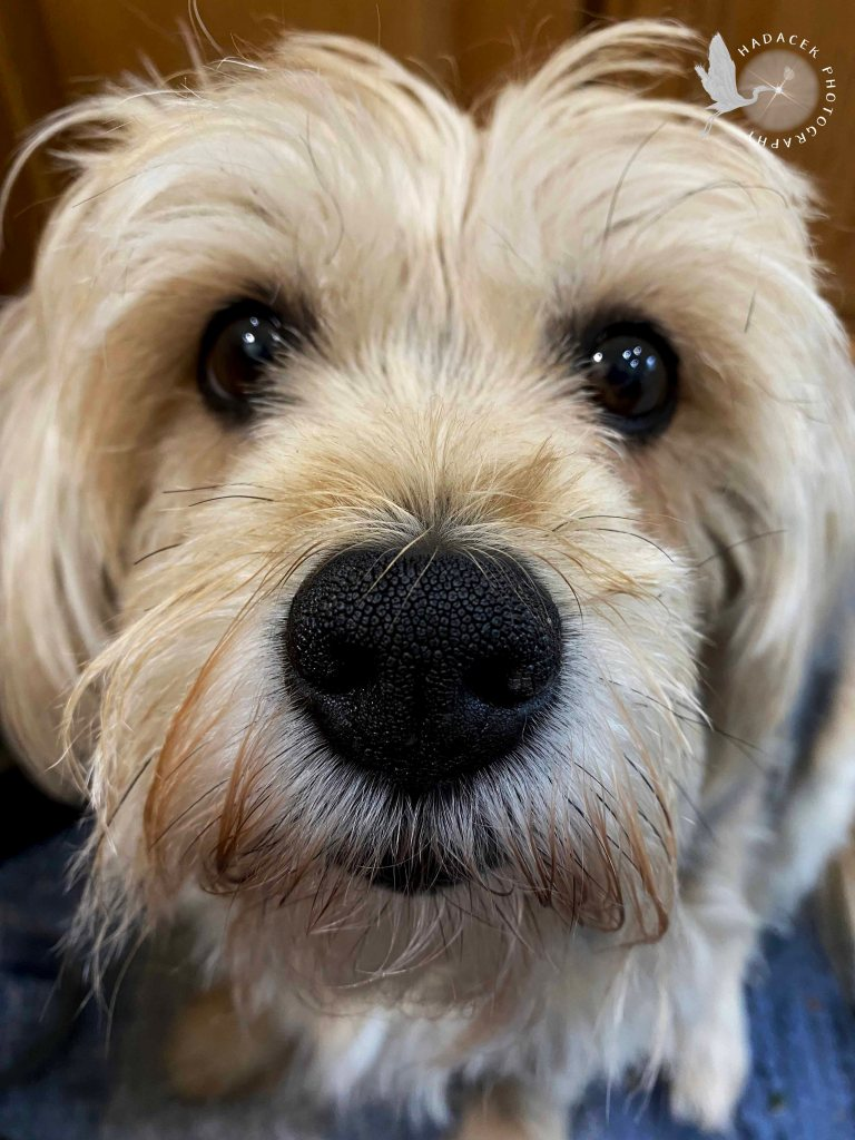 A shaggy gold dog looks      into the camera, the pebbling on her nose quite clear. She looks serious, not smiling.